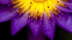 تابلو طبیعت-گل بنفش