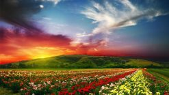 تابلو طبیعت -دشت گل در غروبی زیبا