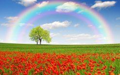 تابلو طبیعت -نمایی زیبا از دشت شقایق و رنگین کمان