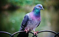 تابلو حیوانات کبوتر