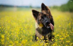 تابلو حیوانات سگ نژاد آلمانی