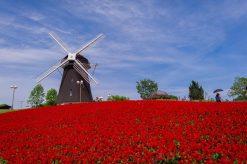 تابلو طبیعت -نمایی زیبا از آسیاب بادی وگلهای رنگارنگ