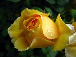 تابلوی زیبا از گل رز زرد از نمای نزدیک1