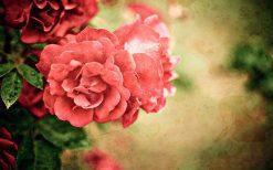 تابلو طبیعت گل رز