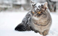 تابلو حیوانات گربه در برف