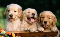تابلو حیوانات سه سگ با مزه