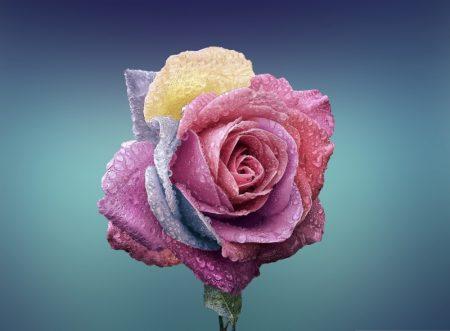 colorful_rose