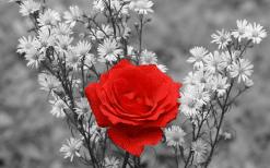 تابلوی زیبا از گل رز قرمز و افکت پس زمینه سیاه و سفید1